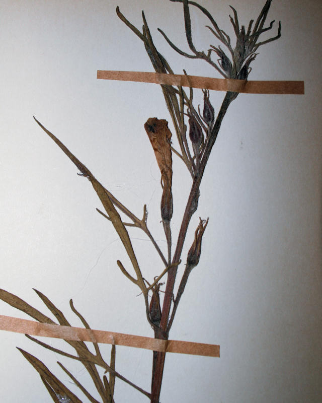 Ipomoea oenotherae var. oenotherae