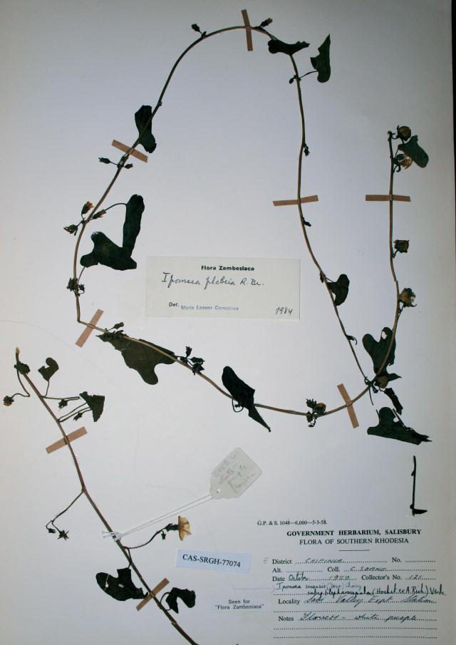 Ipomoea plebeia subsp. africana
