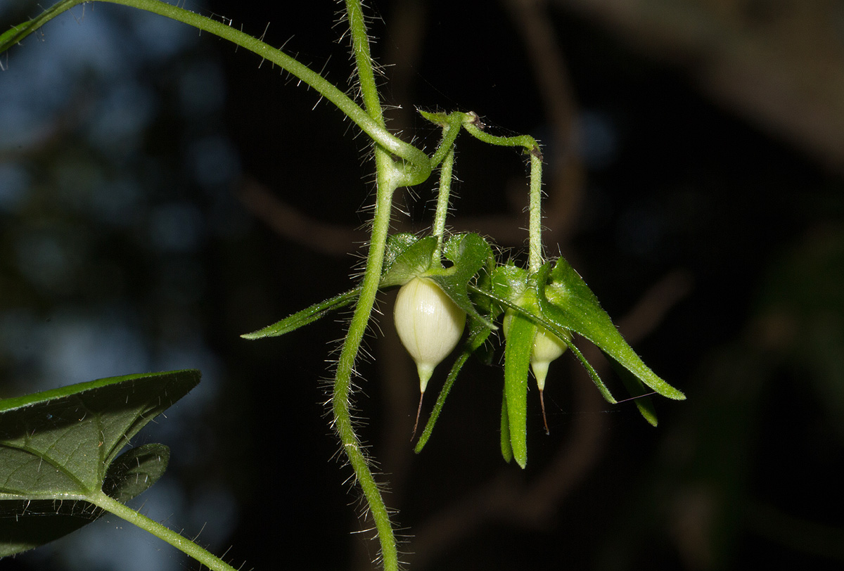 Ipomoea sinensis subsp. sinensis