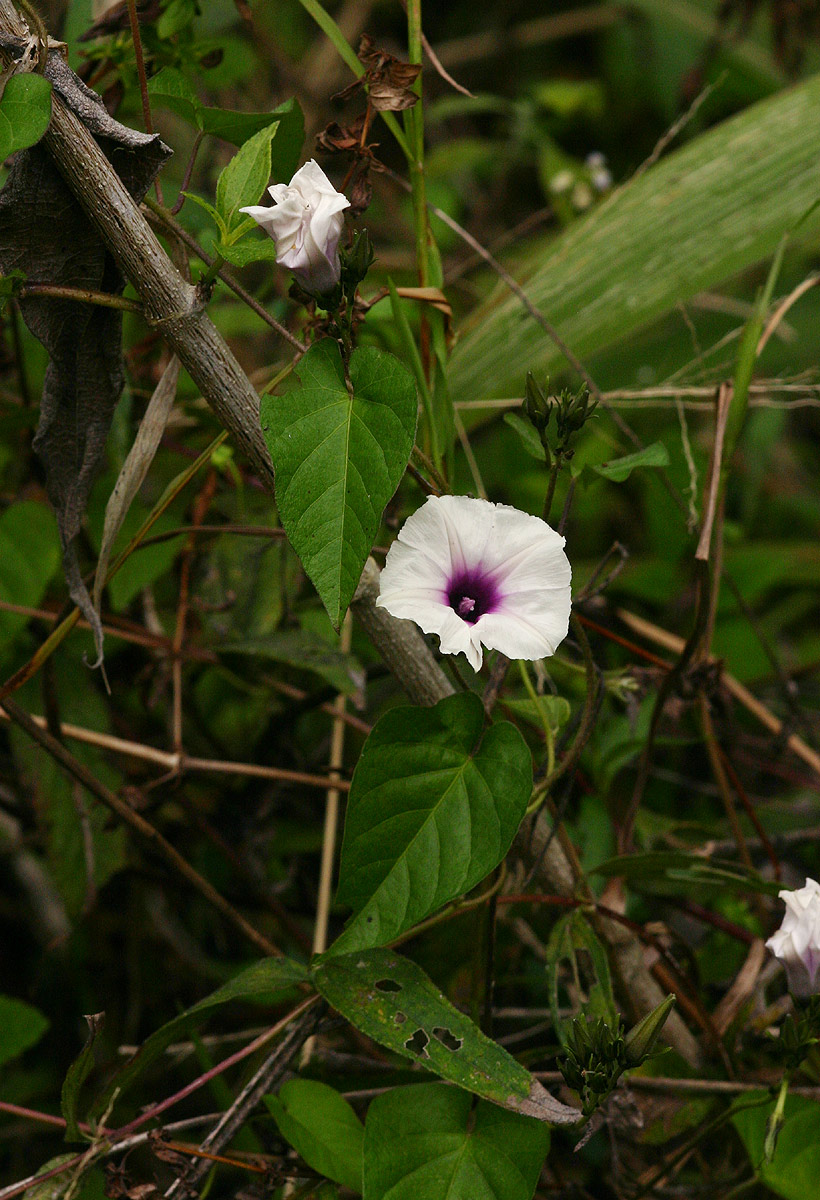 Ipomoea tenuirostris subsp. tenuirostris