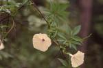 Ipomoea tuberculata var. tuberculata
