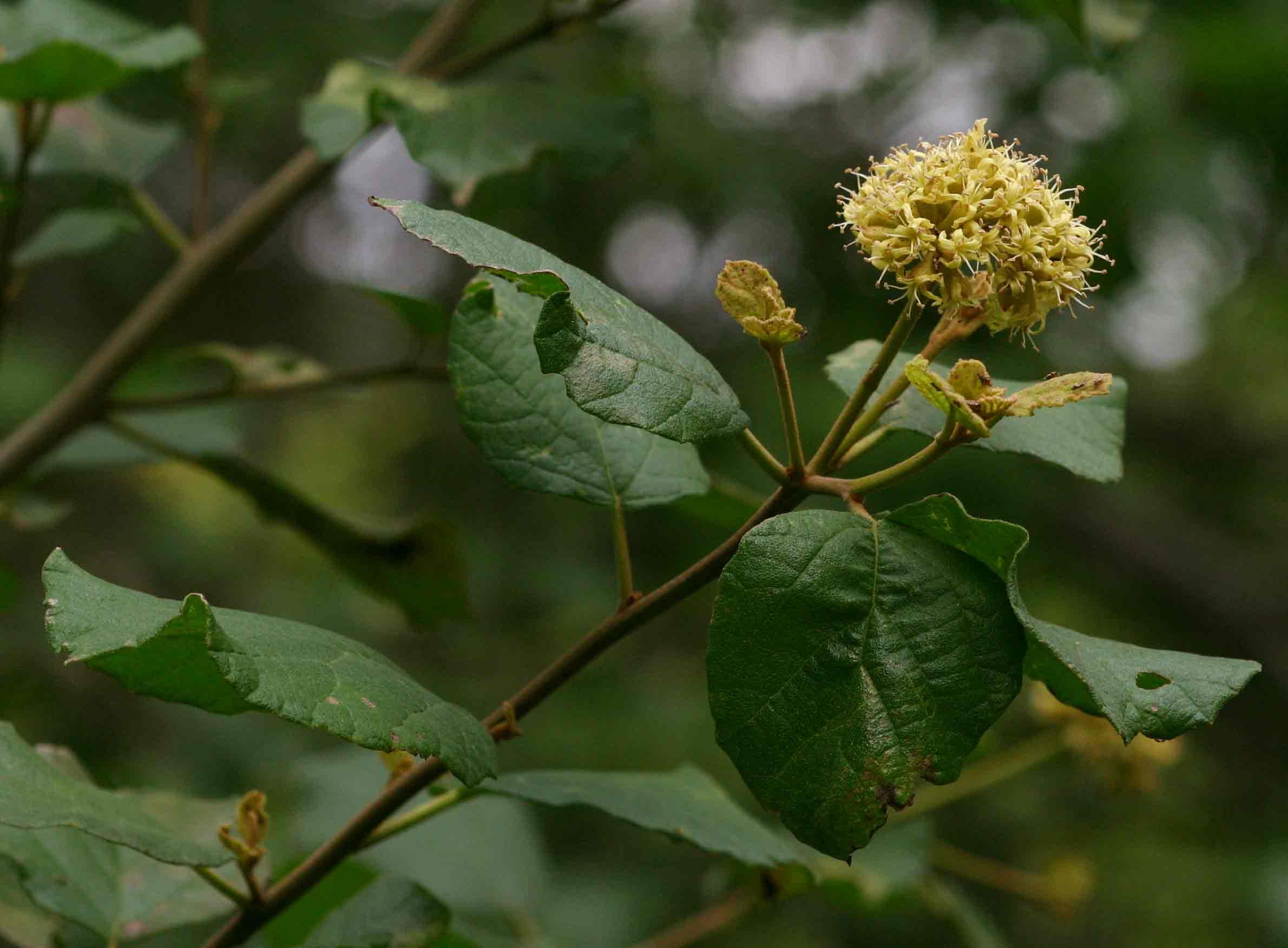 Cordia monoica