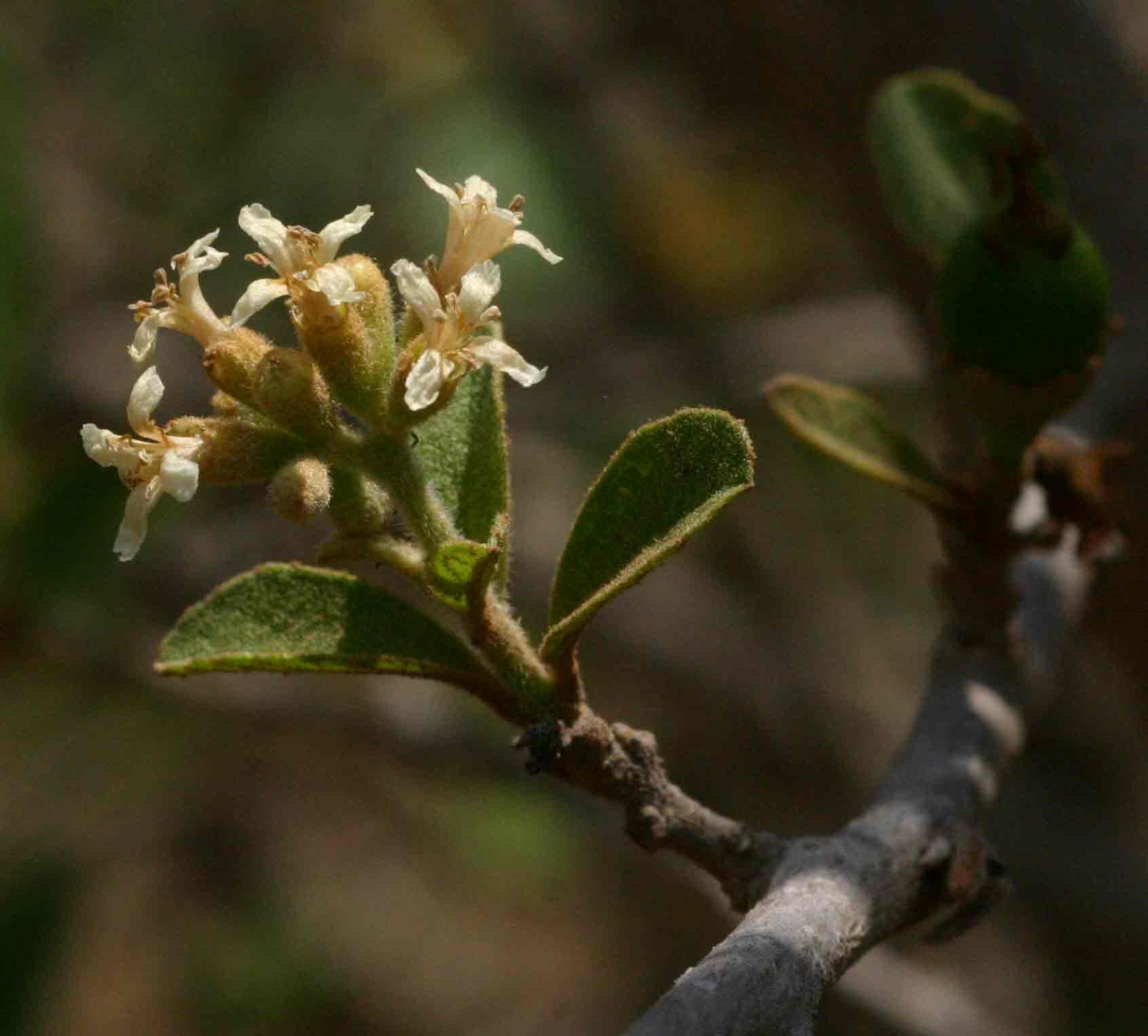 Cordia sinensis