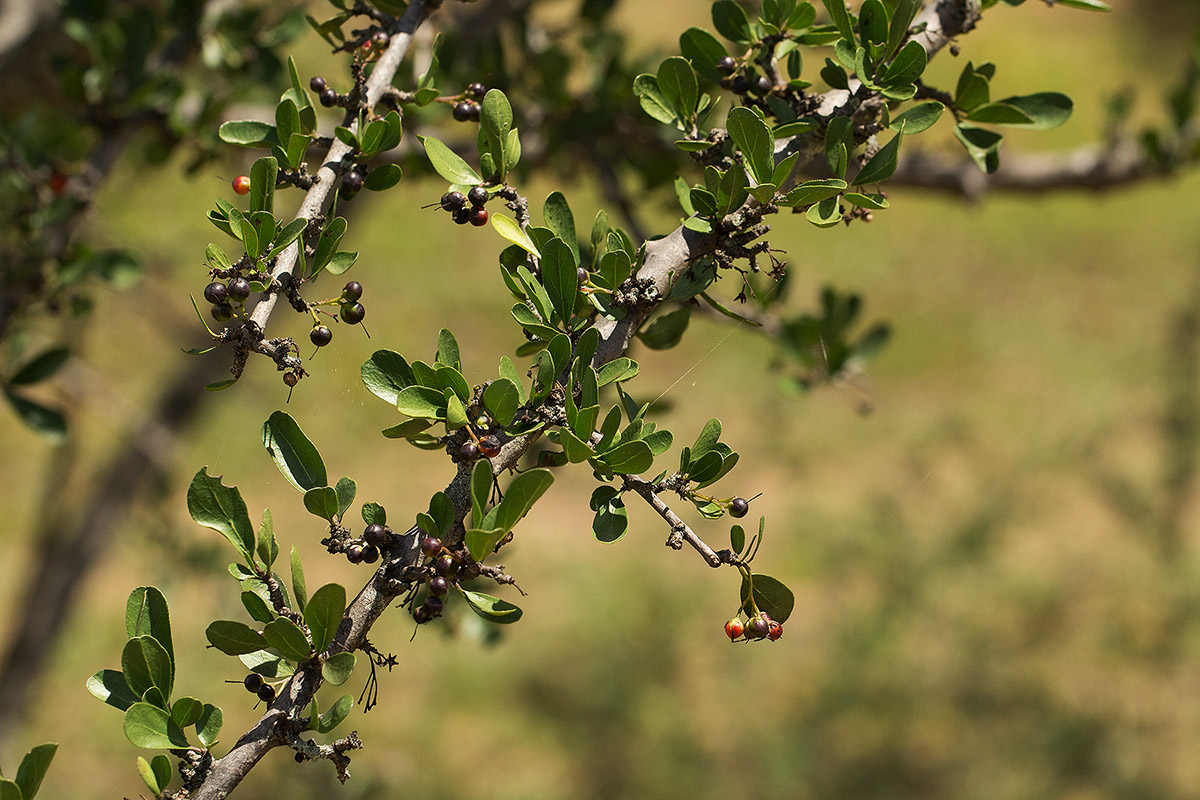 Ehretia rigida subsp. rigida