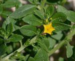 Heliotropium baclei var. rostratum