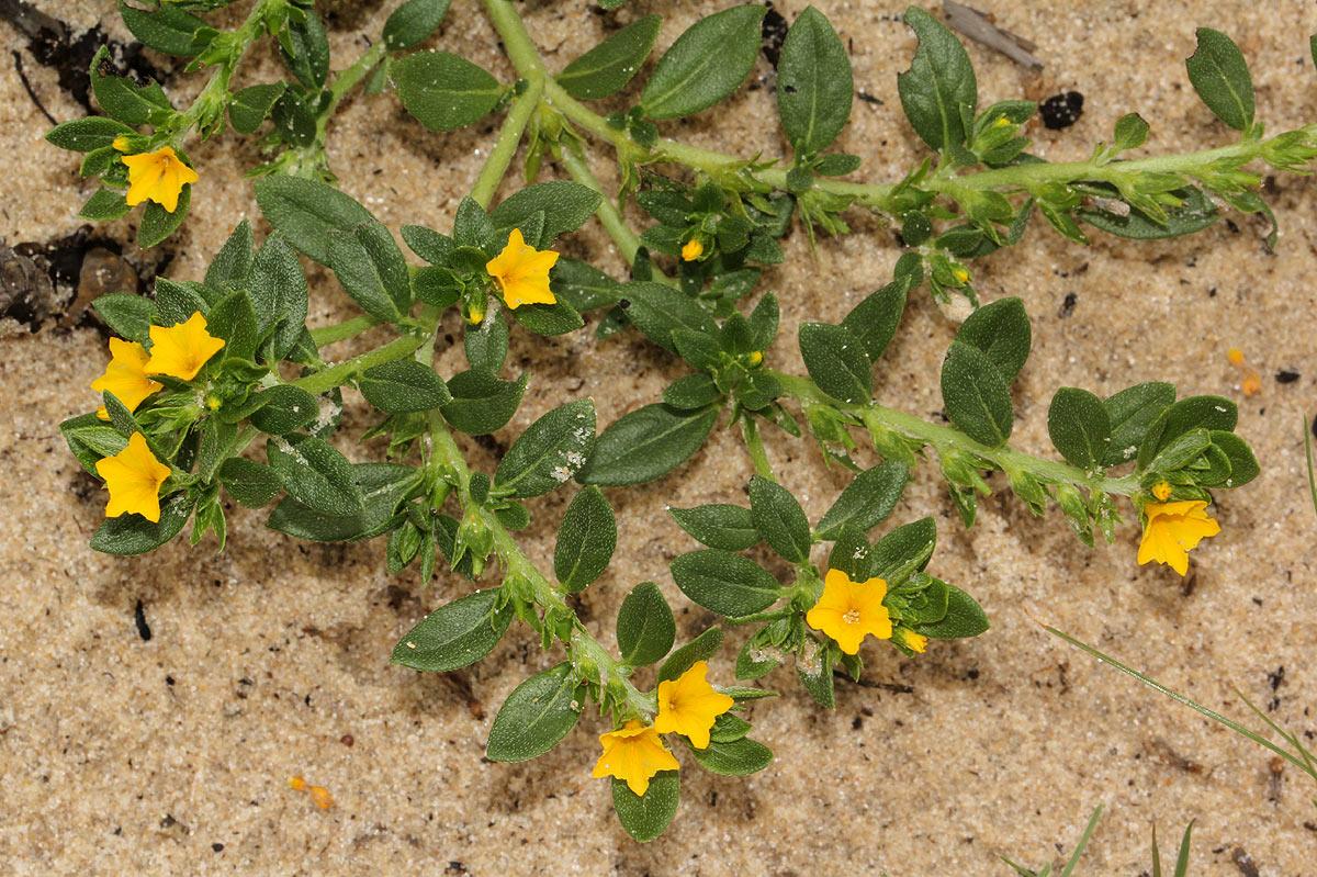 Euploca katangensis