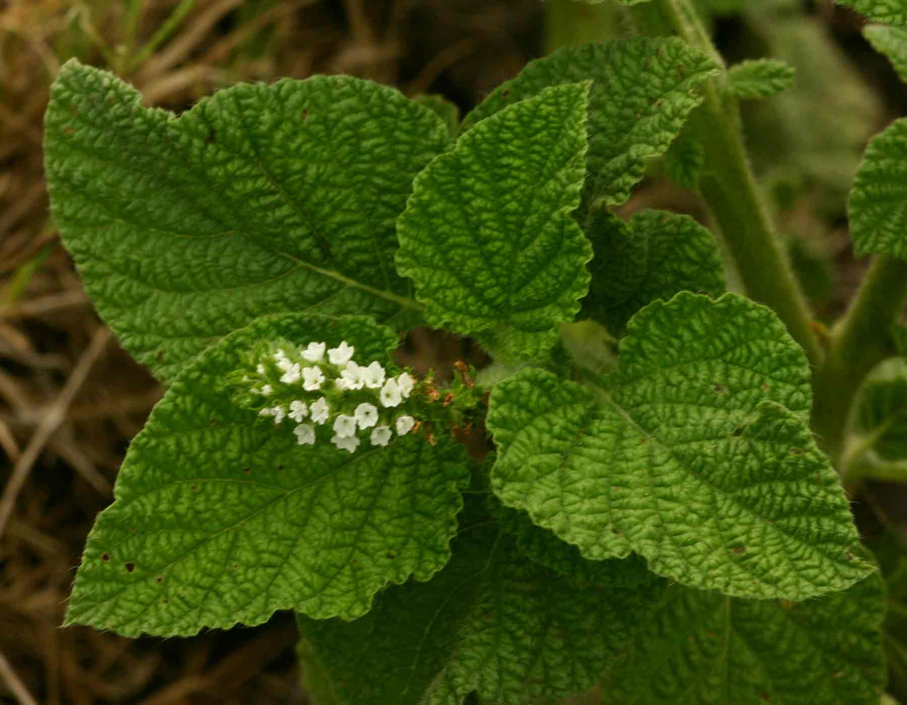 Heliotropium indicum