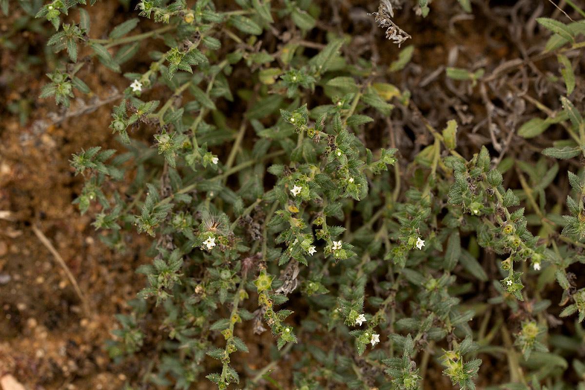 Heliotropium strigosum