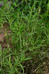 Heliotropium zeylanicum
