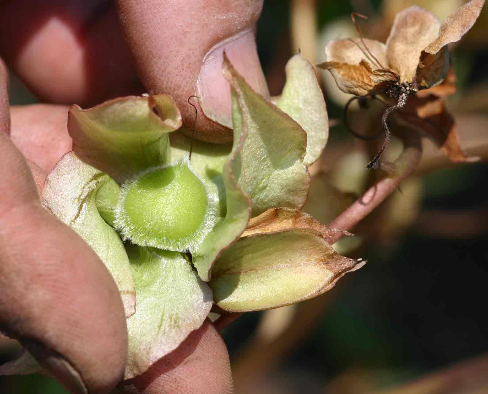 Trichodesma ambacense subsp. hockii