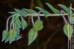 Trichodesma zeylanicum