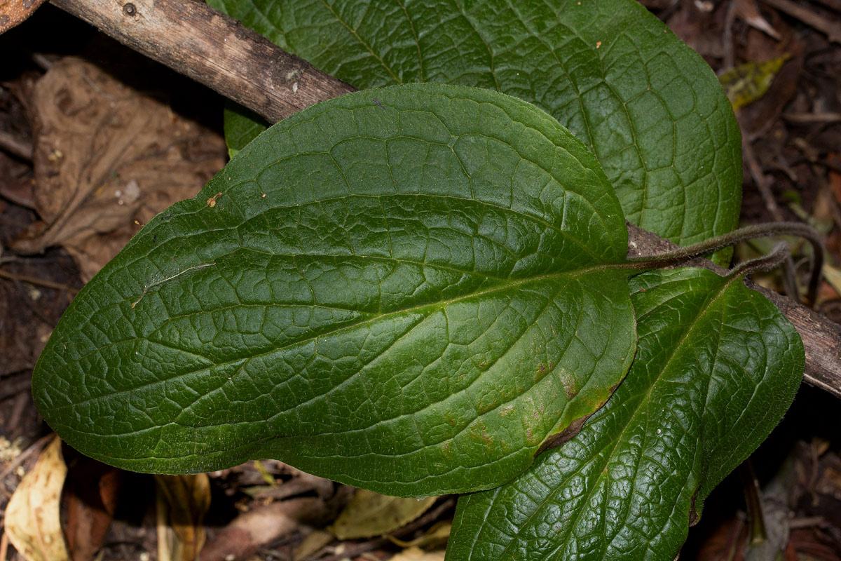 Cynoglossum amplifolium