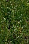 Cynoglossum lanceolatum