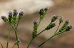 Verbena officinalis subsp. africana