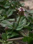Phyla nodiflora var. nodiflora