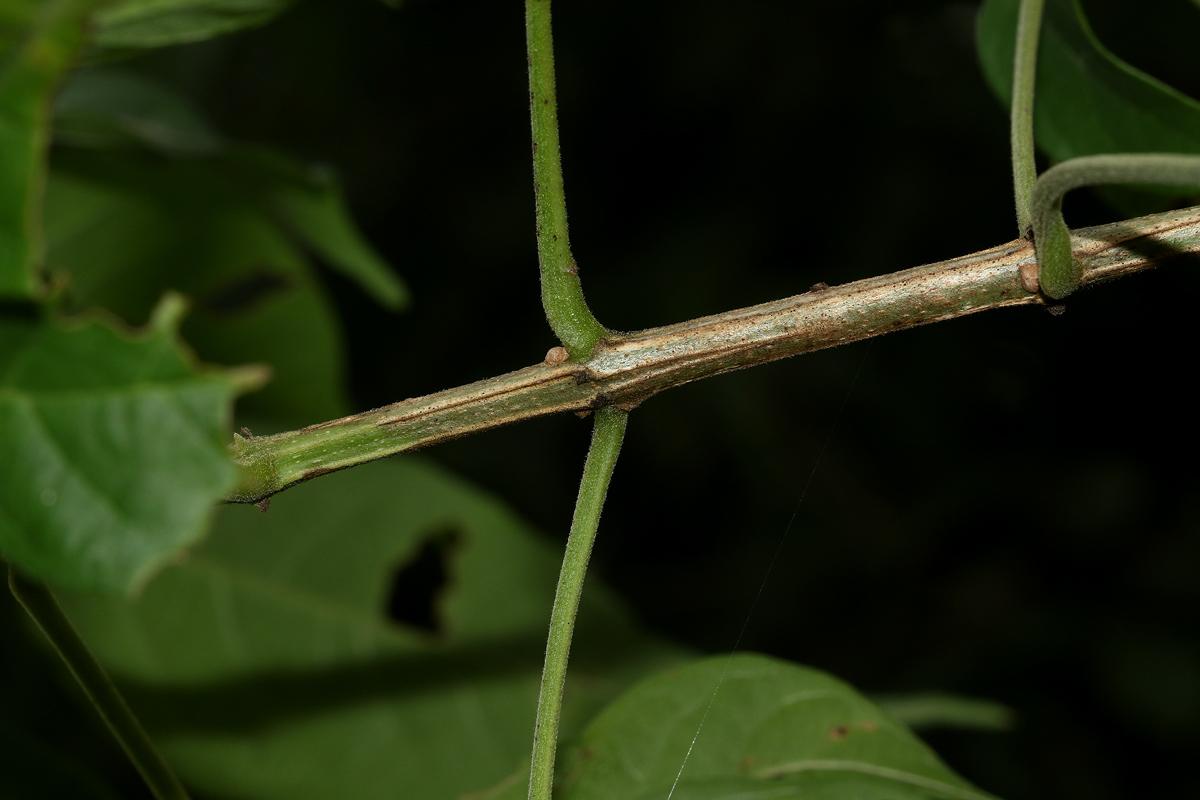 Vitex buchananii