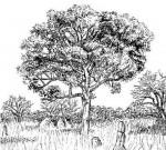 Vitex doniana