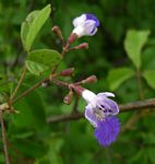 Vitex petersiana
