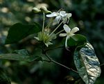 Clerodendrum cephalanthum subsp. swynnertonii
