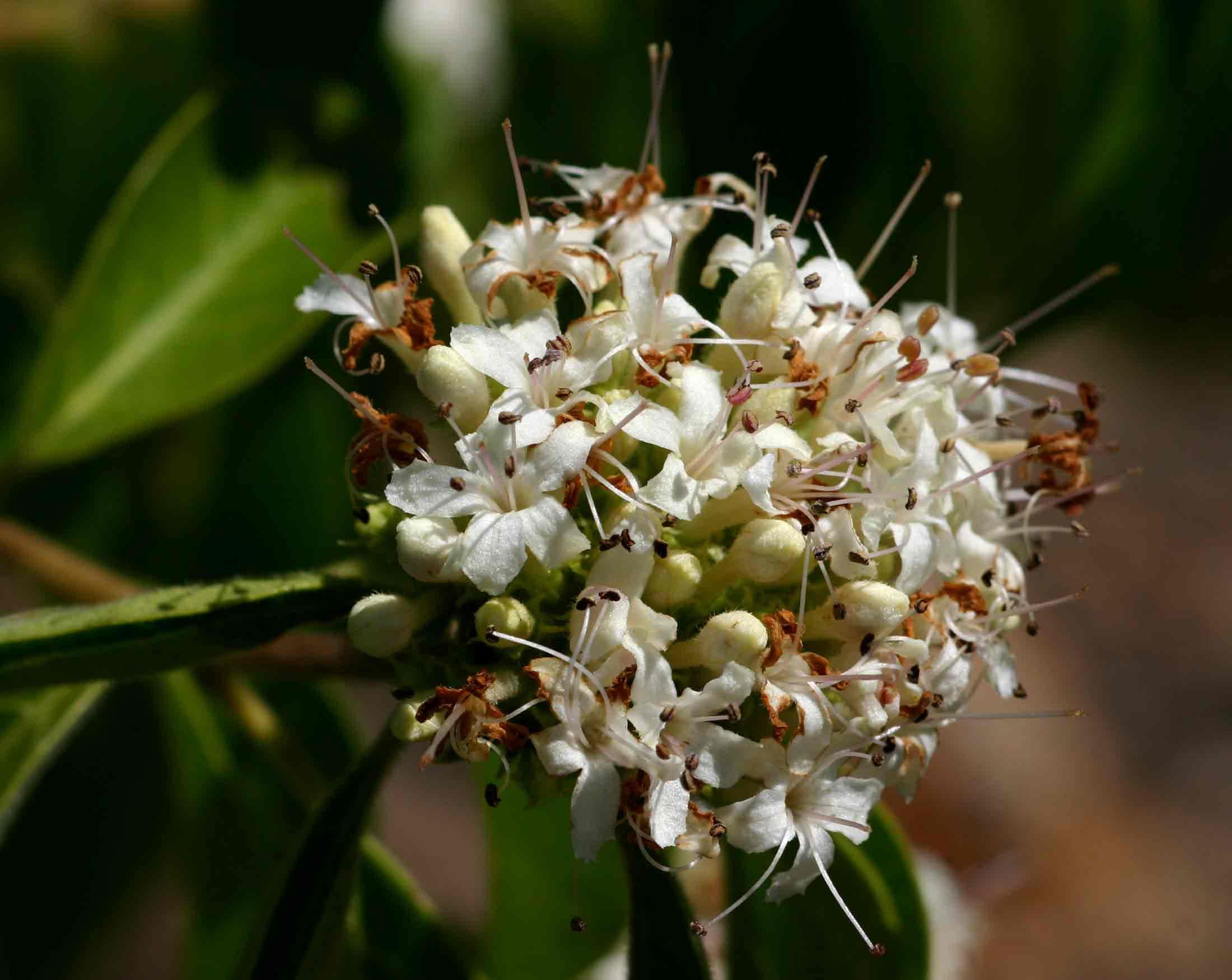 Clerodendrum eriophyllum
