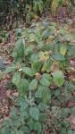 Clerodendrum frutectorum