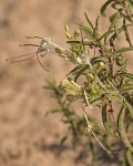 Clerodendrum ternatum