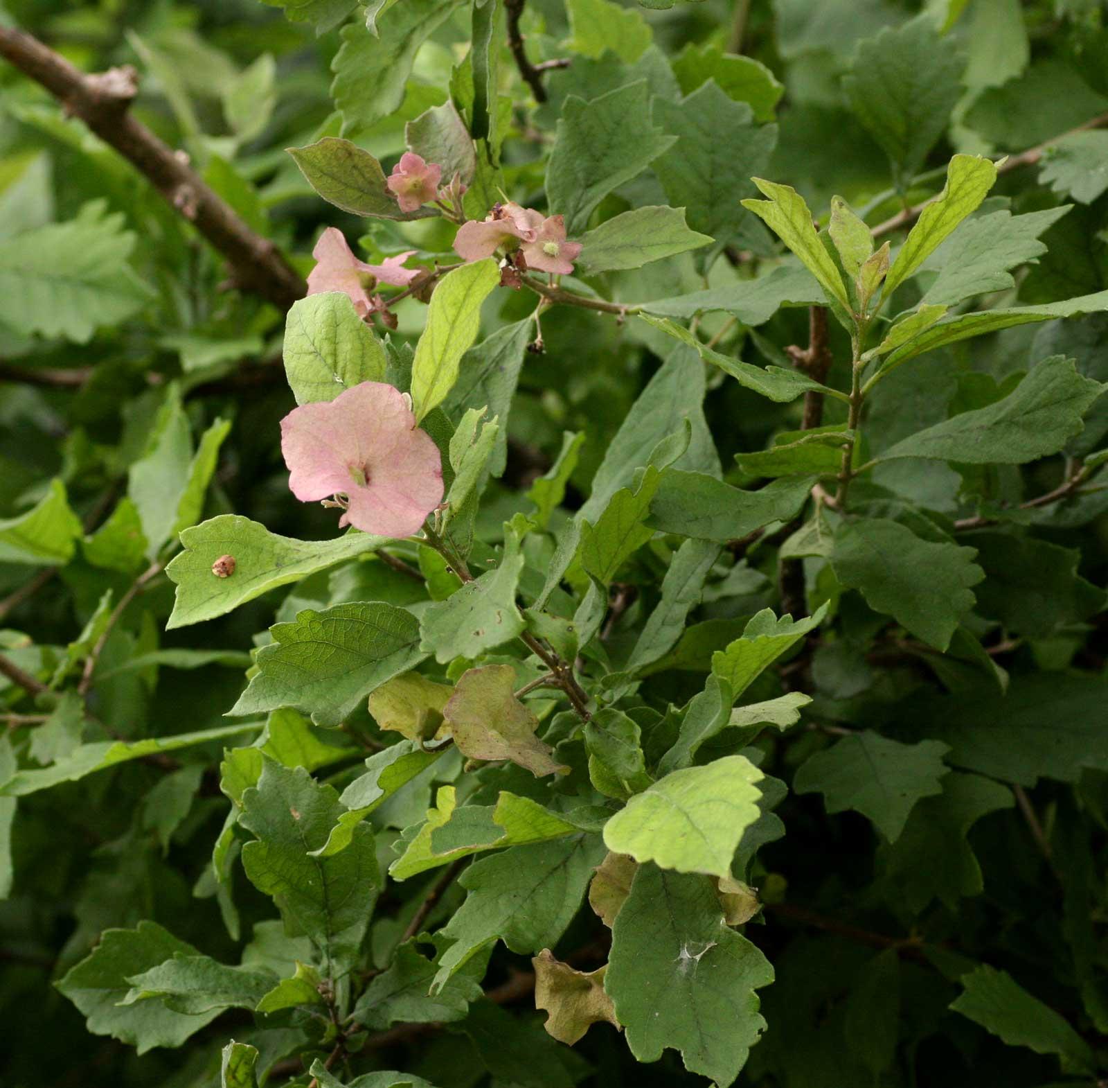 Karomia tettensis