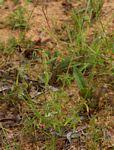 Acrotome angustifolia