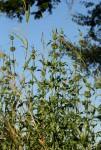 Leonotis nepetifolia var. nepetifolia