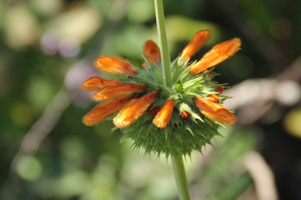 Leonotis ocymifolia var. raineriana