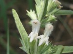 Leucas capensis