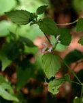 Leucas glabrata