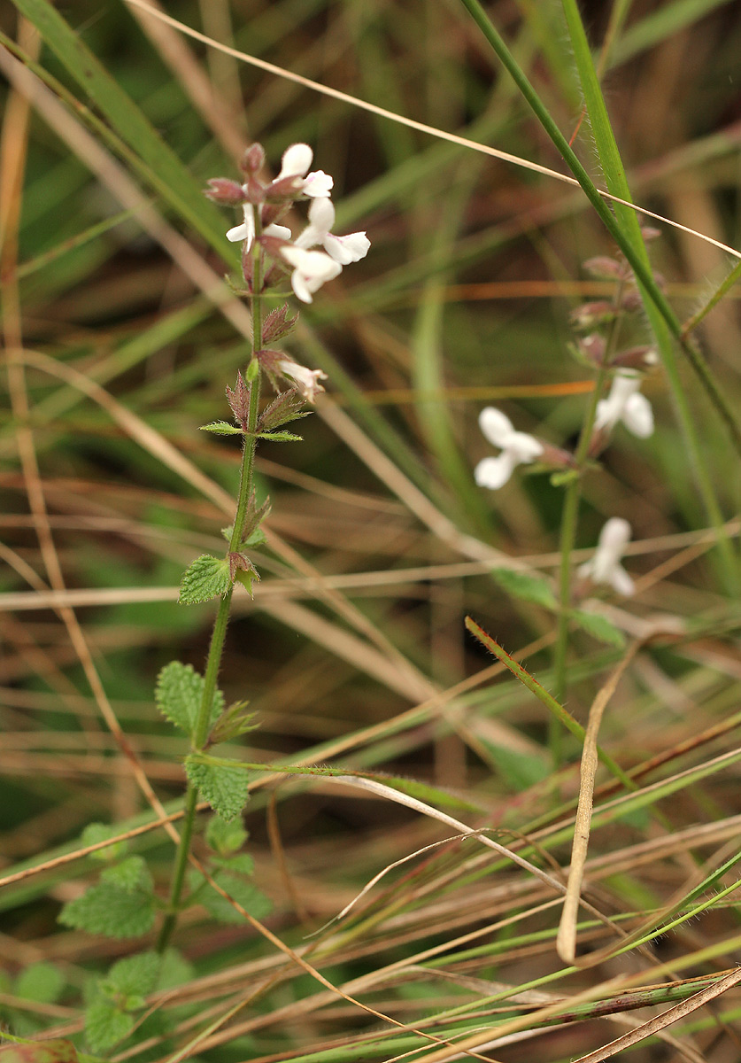 Stachys aethiopica