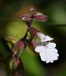 Stachys natalensis var. natalensis