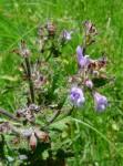 Salvia nilotica