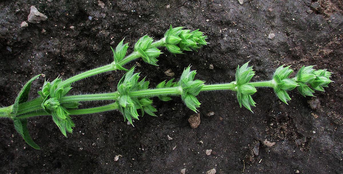 Salvia runcinata