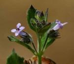 Mesosphaerum suaveolens