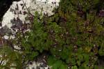 Aeollanthus buchnerianus