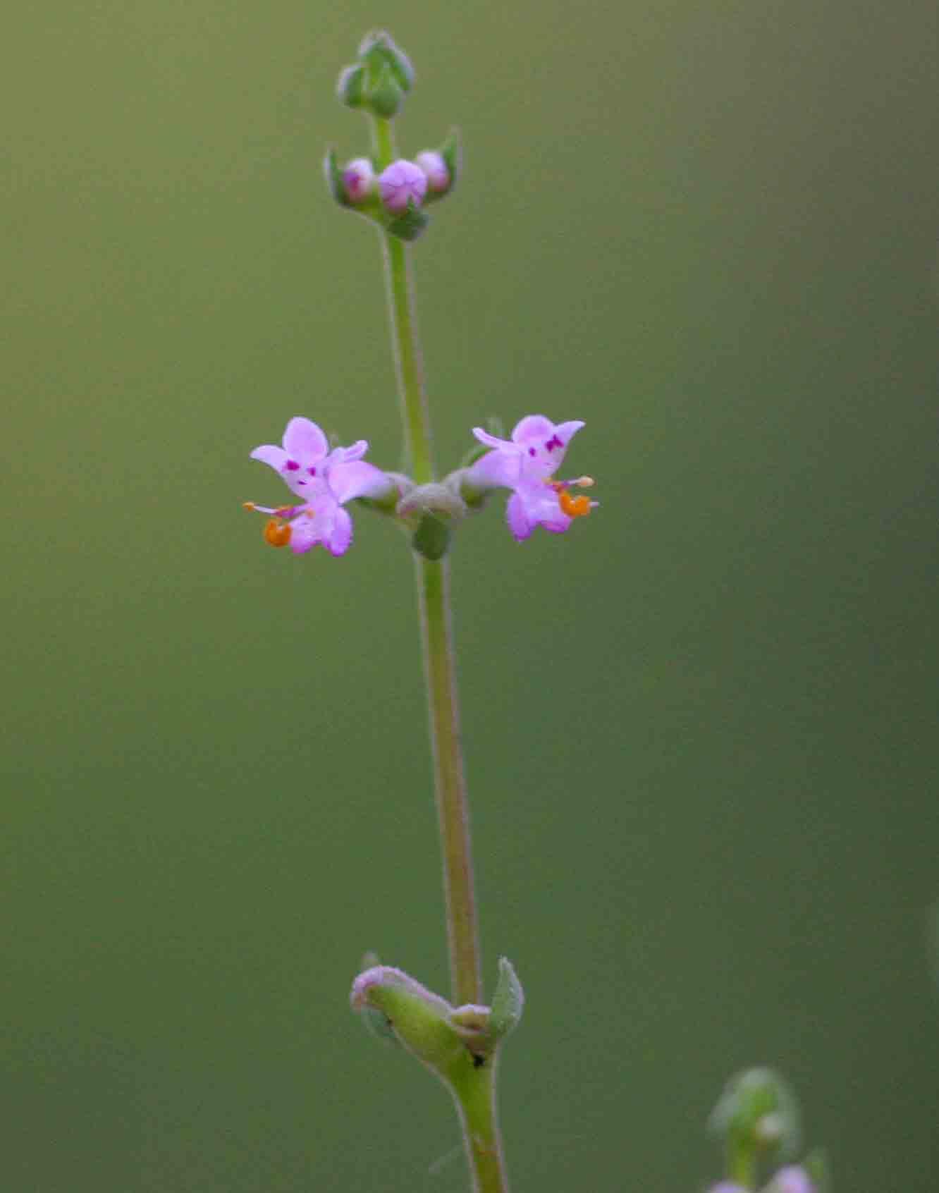 Aeollanthus neglectus