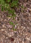 Aeollanthus rehmannii