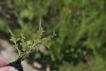 Aeollanthus ukamensis