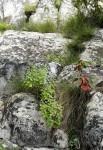 Aeollanthus viscosus