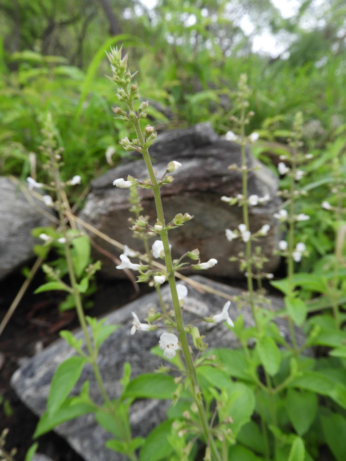 Endostemon obtusifolius