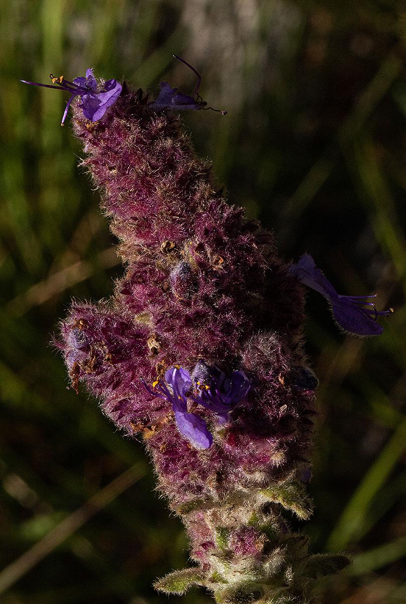 Coleus caudatus