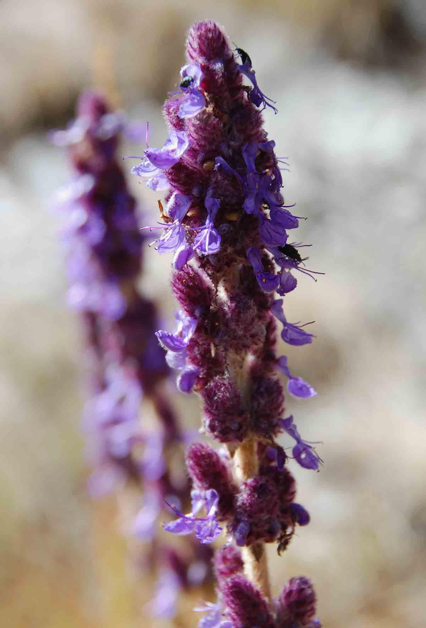 Plectranthus caudatus