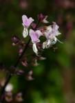 Plectranthus chimanimanensis