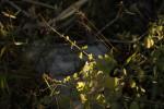 Plectranthus gracilis