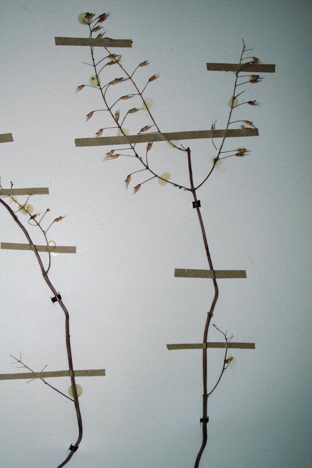 Plectranthus gracillimus