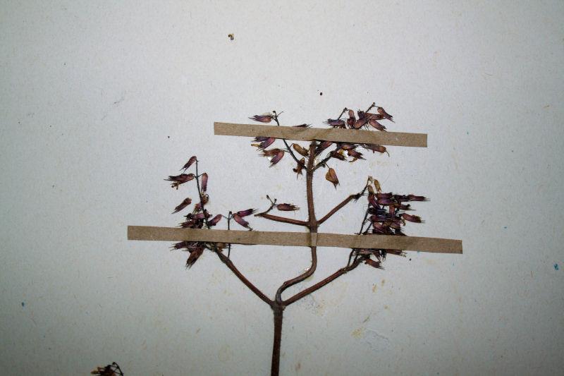Plectranthus efoliatus