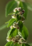 Plectranthus kapatensis